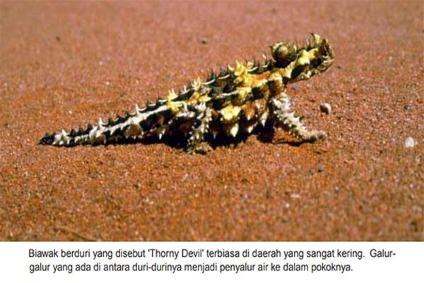 Biawak Thorny Devil – Moloch horridus